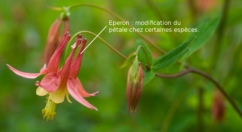 Eperon floral