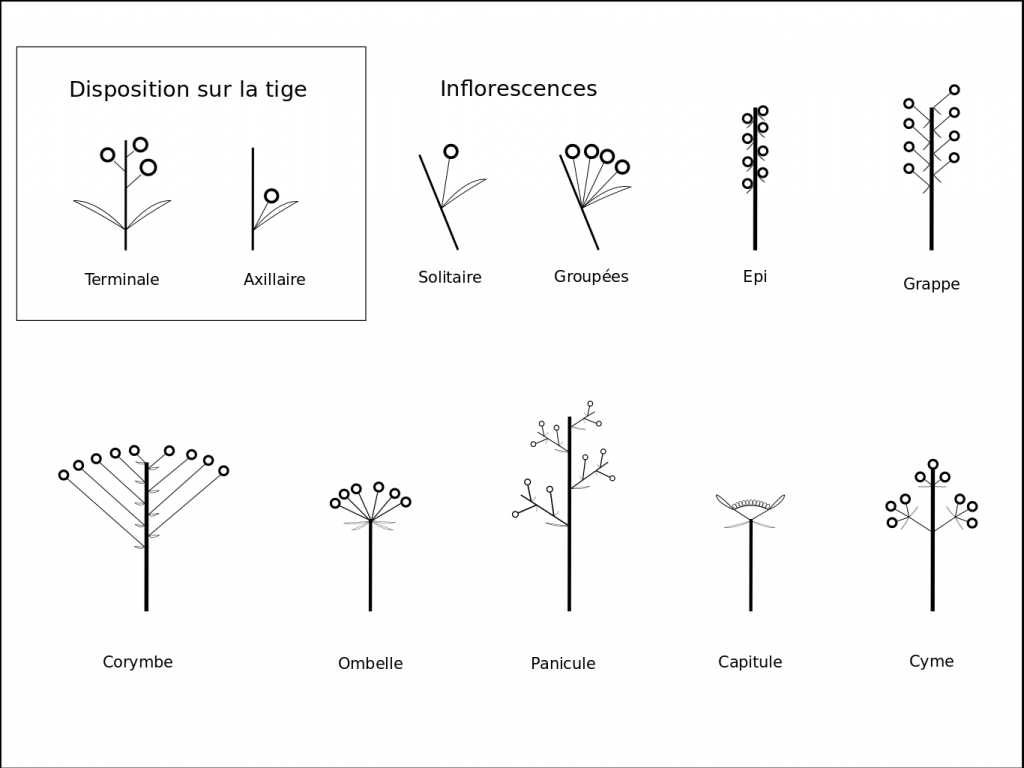 Organisation inflorescences