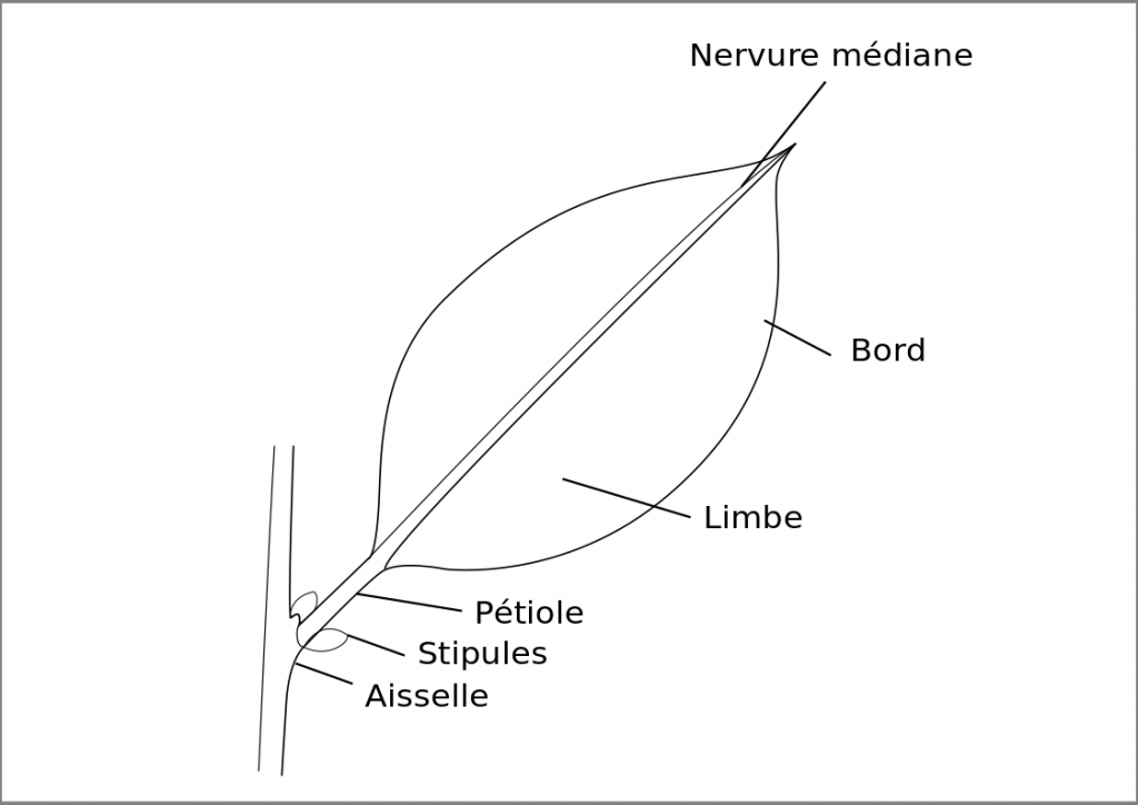 structure foliaire