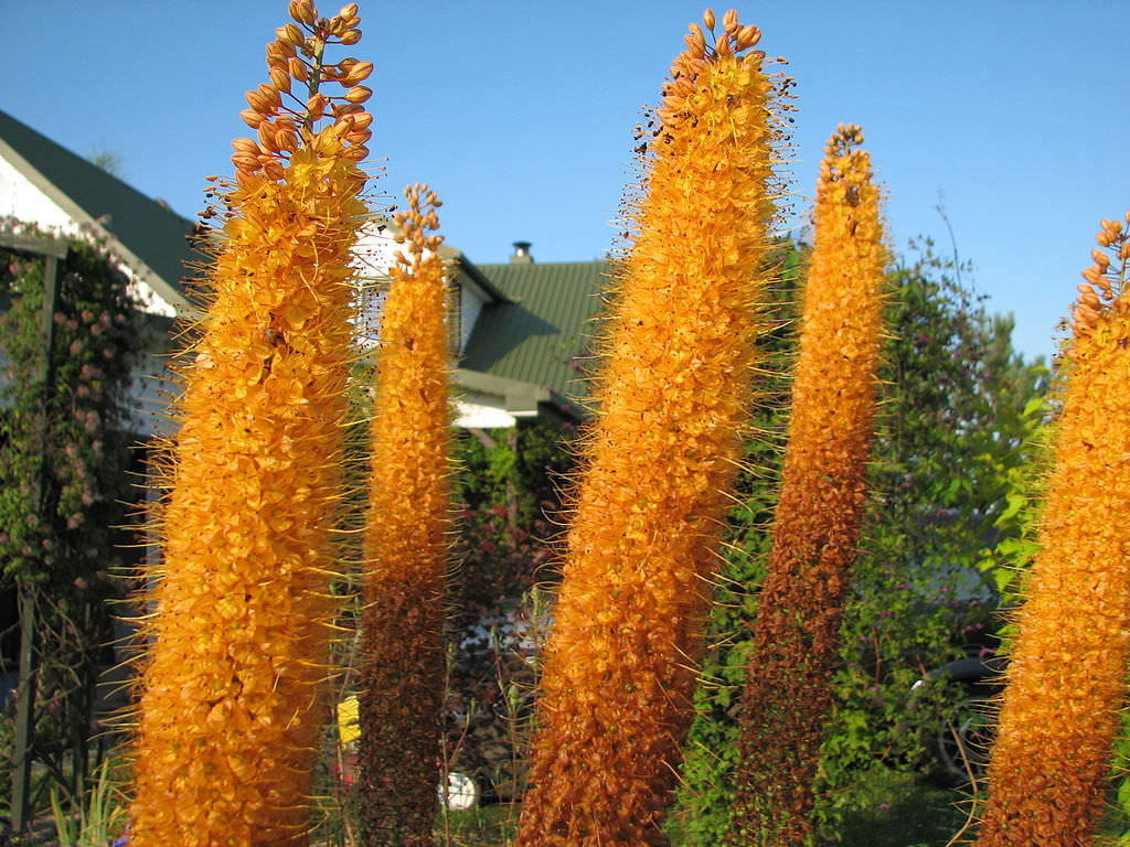 Eremurus orange